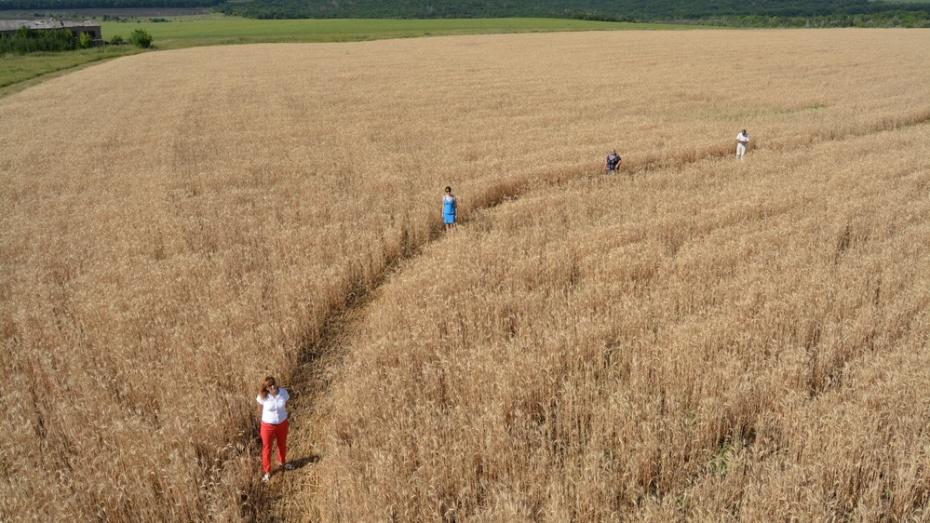 На хлебном поле под Богучаром проявилась загадочная фигура