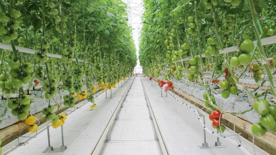 Летом 2020 года в Воронежской области откроется новая теплица «Эко-культуры»