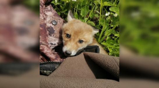 В Панинском районе в фотоловушку попался лис