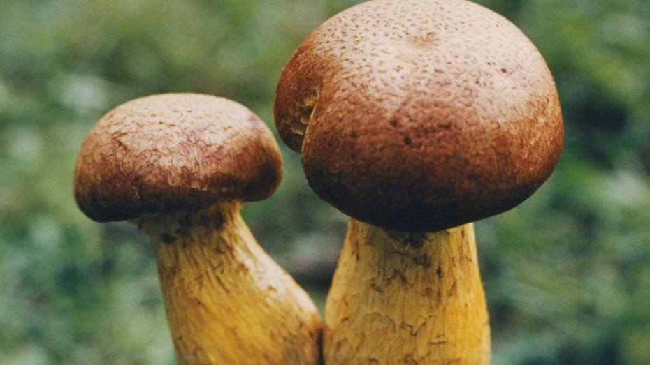 С начала 2018 года в Воронежской области 8 человек отравились грибами