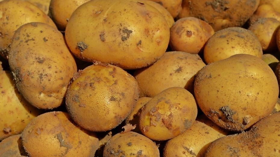 Воронежскую область признали крупнейшим производителем картофеля в РФ