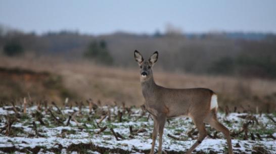 В Воронежской области браконьера оштрафовали на 60 тыс рублей за убитую косулю