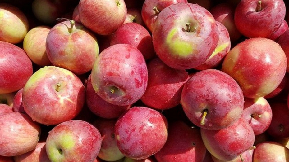 В Новоусманском районе 37-летний мужчина украл 145 кг яблок из сада сельхозпредприятия