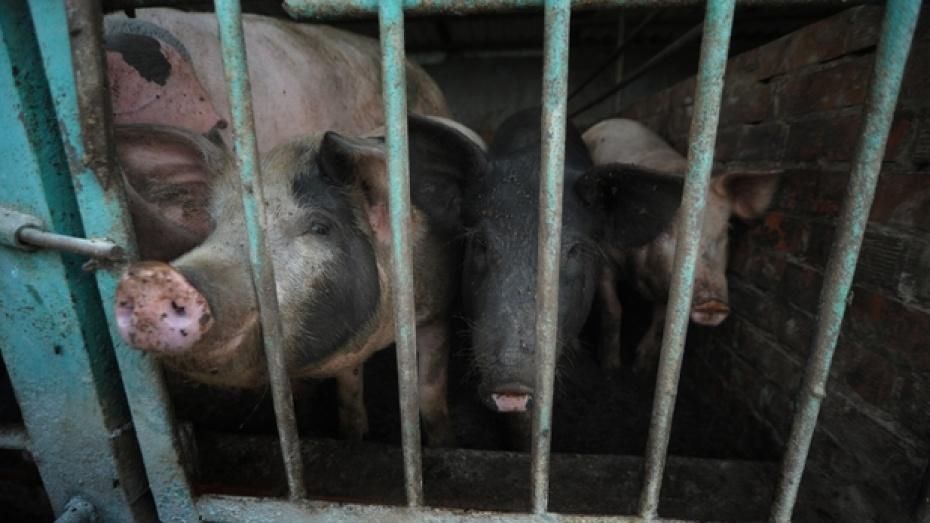 Главный ветеринар области: личные подворья – самое слабое звено в борьбе с африканской чумой свиней