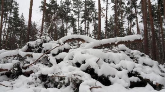 В Воронежской области в санитарных целях вырубят 53 га лесов