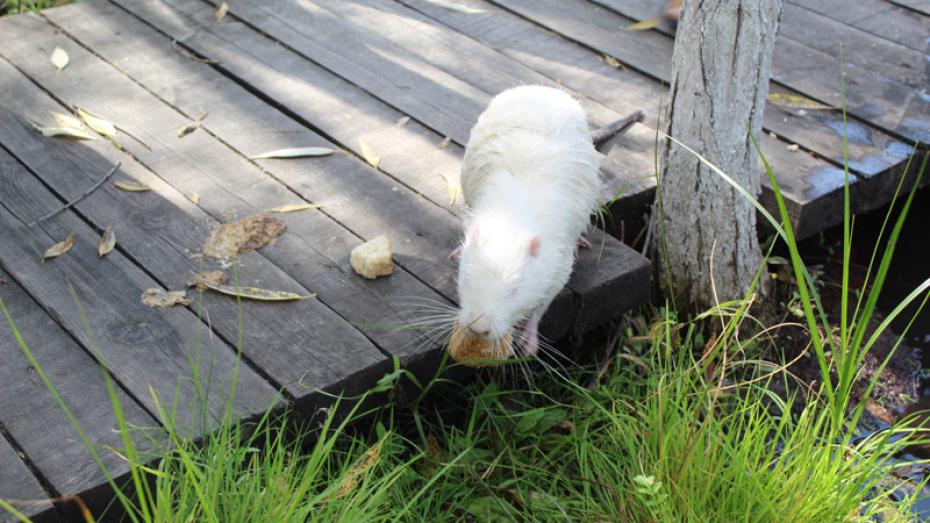 В этномузее в Воронежской области у болотных бобров родился детеныш-альбинос