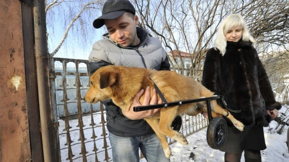 Воронежской дворняжке подарили инвалидную коляску