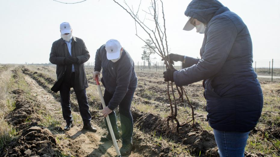 Под Воронежем на месте горельника высадили абрикосовый сад