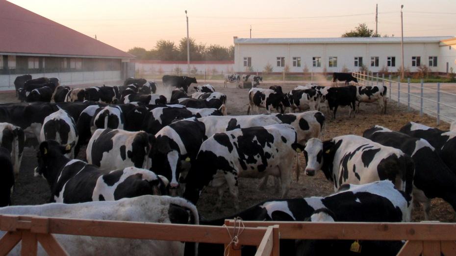 Из Венгрии в Россошанский район доставили 557 коров голштинской породы