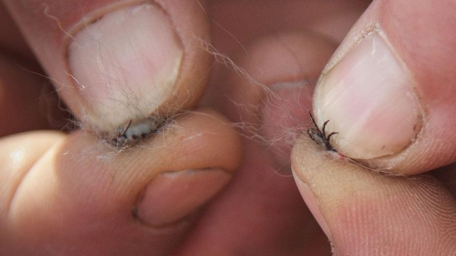 В Воронежской области от укусов клещей пострадали 3 тыс человек за 9 месяцев 2018 года