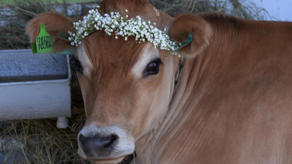 На выставке племенных животных воронежский «Молвест» показал коров 4 пород