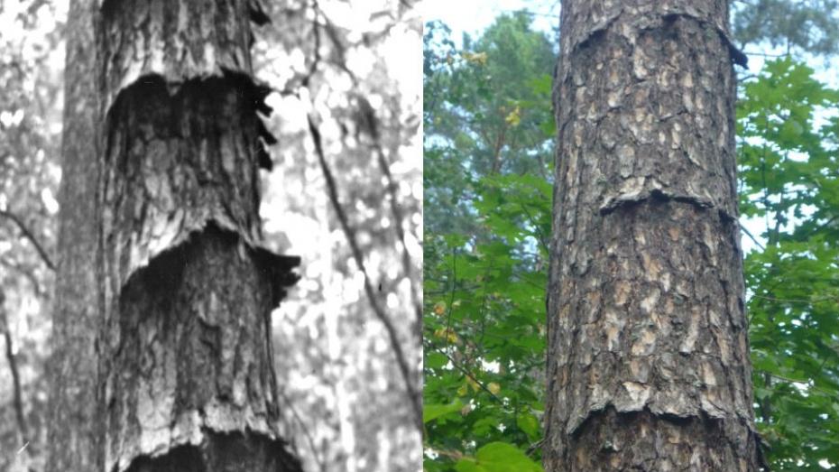 Под Воронежем лесоводы нашли редкий вид сосны
