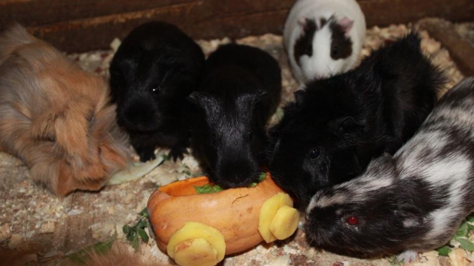 В Воронежском зоопарке пройдут показательные кормления животных тыквой