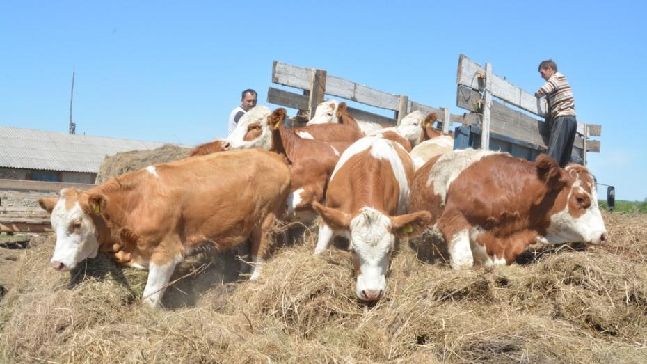 В богучарское село завезли  племенных швейцарских коров