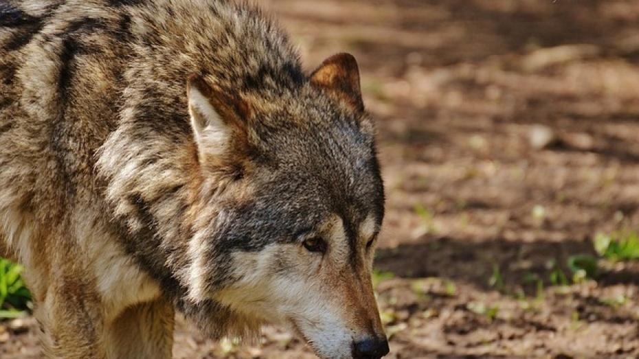 В Каменском районе волк загрыз 7 ягнят