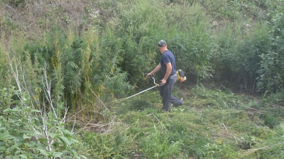 Калачеевские полицейские уничтожили посевы конопли на площади 100 кв метров
