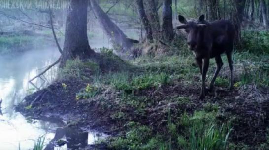 Преобразившиеся к лету животные попали в фотоловушку Воронежского заповедника