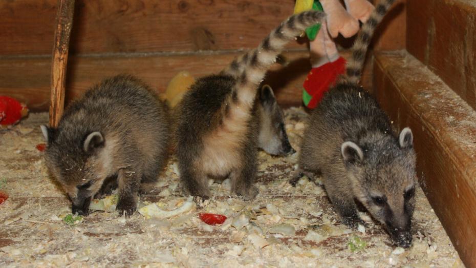 Воронежскому зоопарку подарили 3 детенышей носухи и маисового полоза