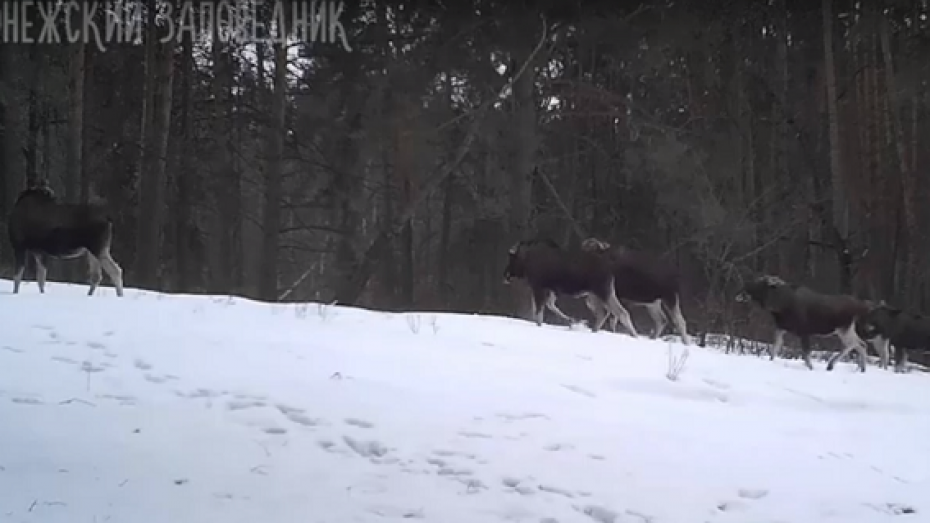 Стадо лосей «попалось» в фотоловушку в Воронежском заповеднике