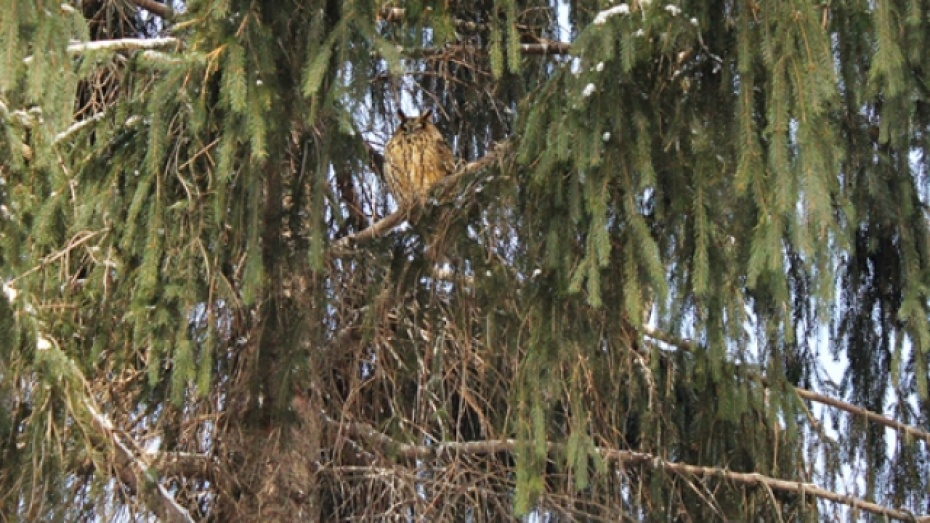 В Панино поселились совы