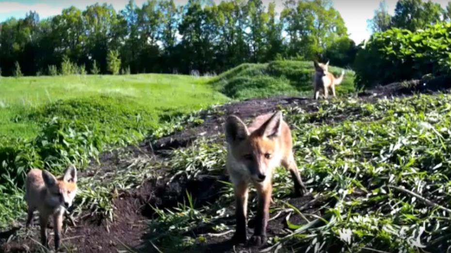 В Панинском районе в фотоловушку попало семейство лис