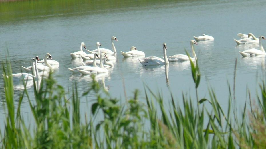 На пруд в Грибановку прилетели 30 лебедей