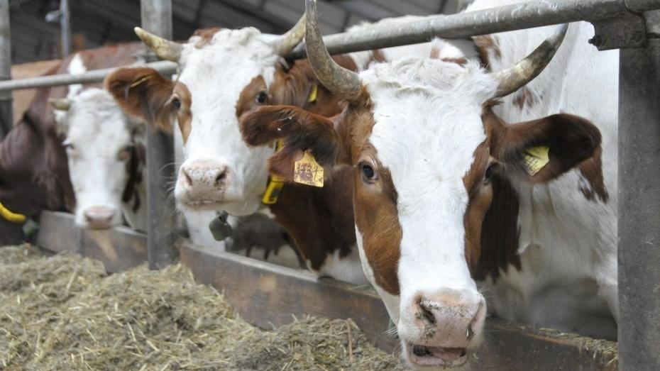 Где под Воронежем построят огромный молочный комплекс на1 200 скотов