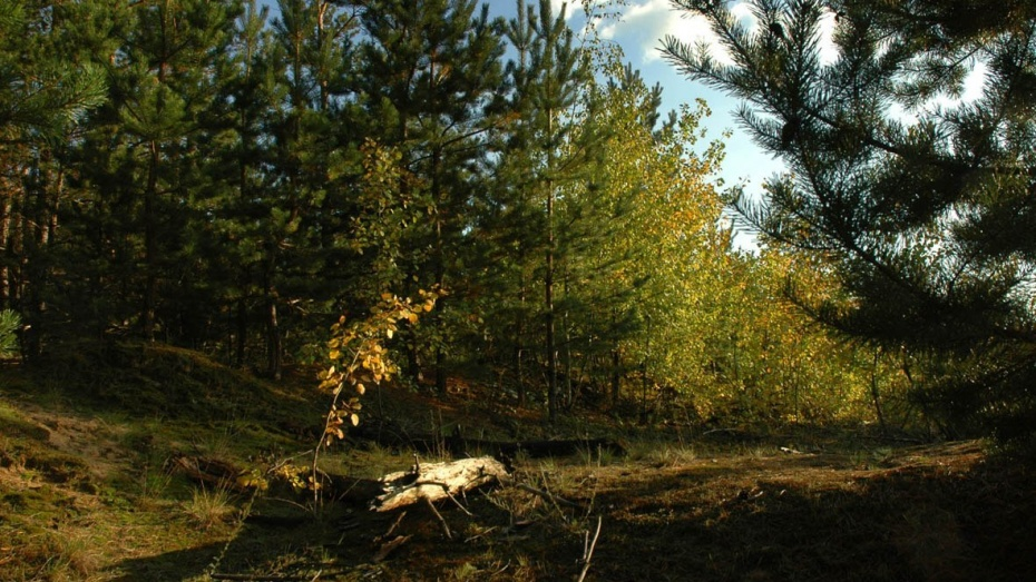 Лесники Воронежской области бросят силы на санитарную вырубку