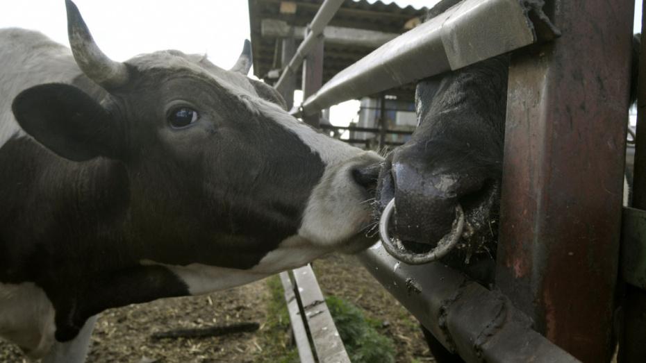 Закупщик скота пультом занизил вес 70 коров под Воронежем