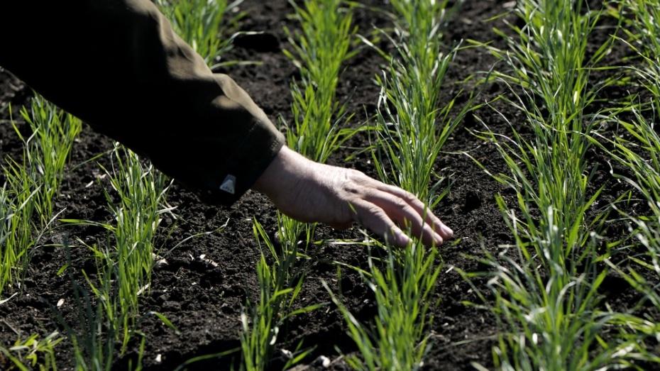 Воронежские аграрии получат более 2 млрд рублей на поддержку растениеводства