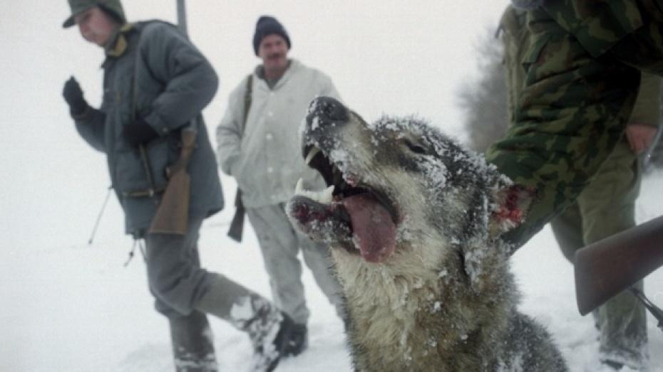 В Кантемировке бешеный волк напал на людей