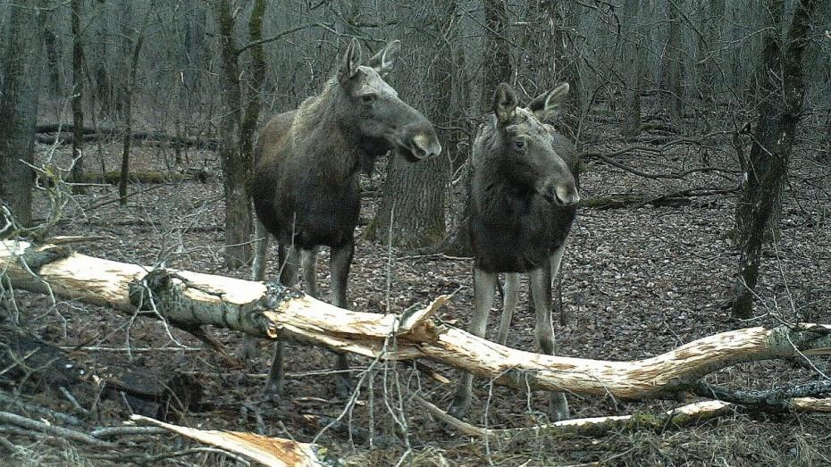 Олени, косули илоси: вВоронежской области увеличились популяции некоторых животных