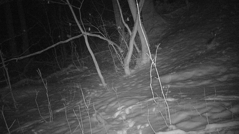 В заповеднике в Воронежской области в фотоловушку попал заяц-русак