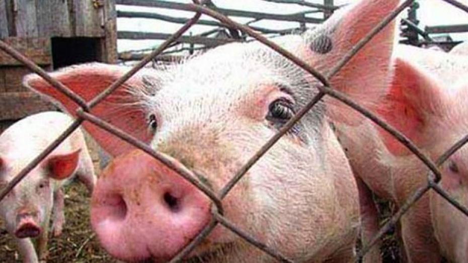 В Павловском районе опасаются африканской чумы свиней