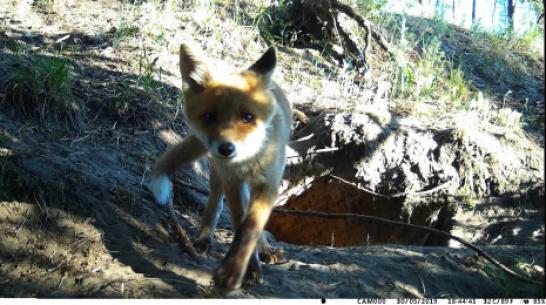 Любопытный лисенок попал в фотоловушку в заповеднике в Воронежской области