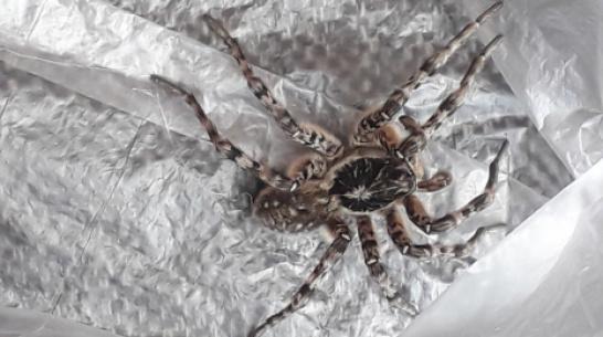 Жители Воронежской области пожаловались на нашествие тарантулов