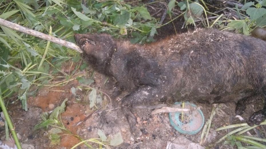 Верхнемамонские охотники нашли на свалке труп принятого за чупакабру животного