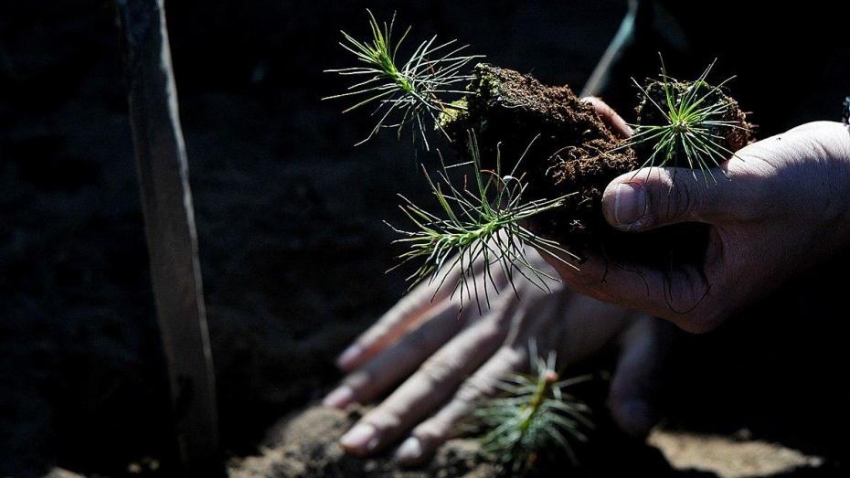 В этом году вВоронежской области посадят 1,7 галеса