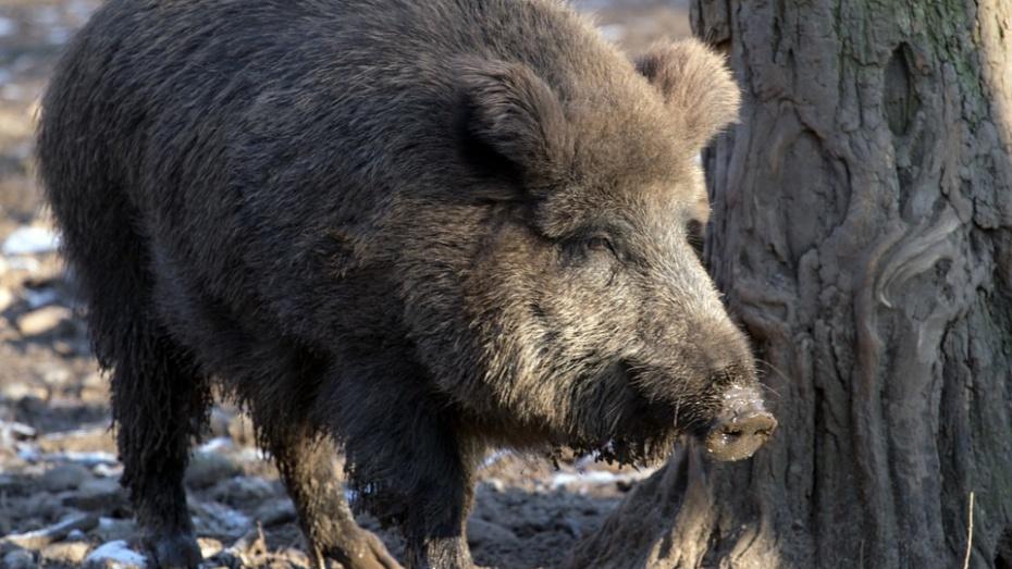 Из-за африканской чумы свиней охоту запретили вчетырех районах Воронежской области