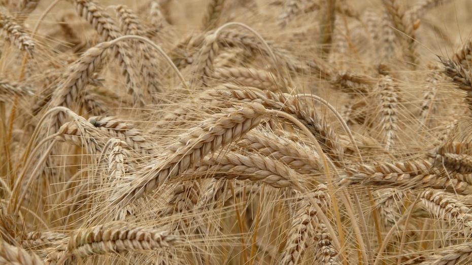 Урожайность зерновых вБелгородской области увеличилась на14%