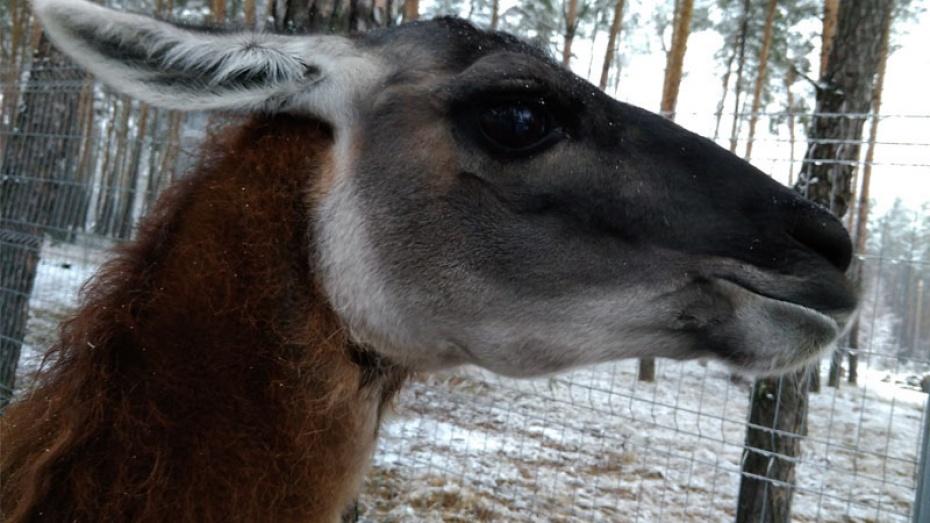 Вворонежском зоопитомнике поселился самец гуанако