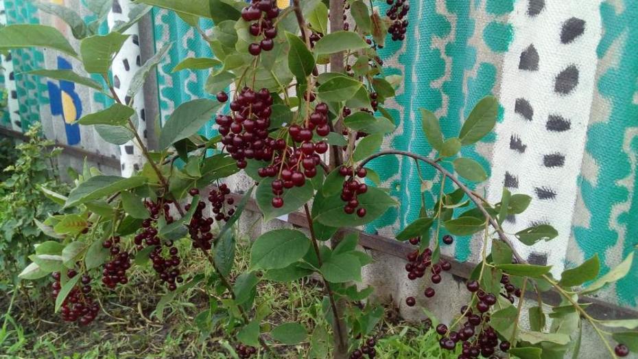 В Новохоперском районе впервые заплодоносила красная черемуха