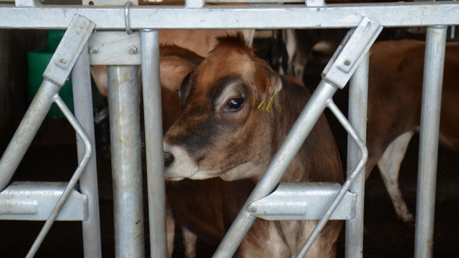 В Верхнем Мамоне с мясомолочного комплекса украли быка стоимостью 71 тыс рублей