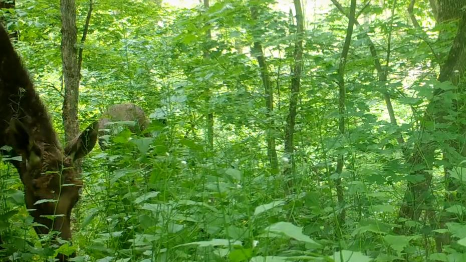 Лоси-подростки попали в фотоловушку в заповеднике Воронежской области