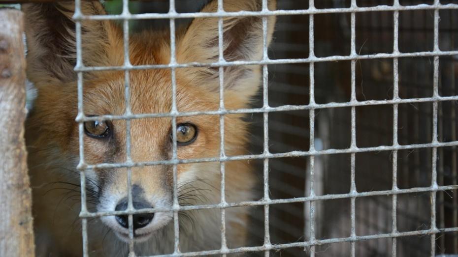 ВВоронежской области практически  вдвое  возросло  число бешеных животных