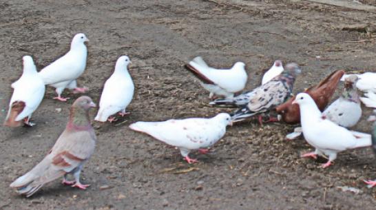 В терновском селе Русаново впервые пройдет выставка-ярмарка голубей