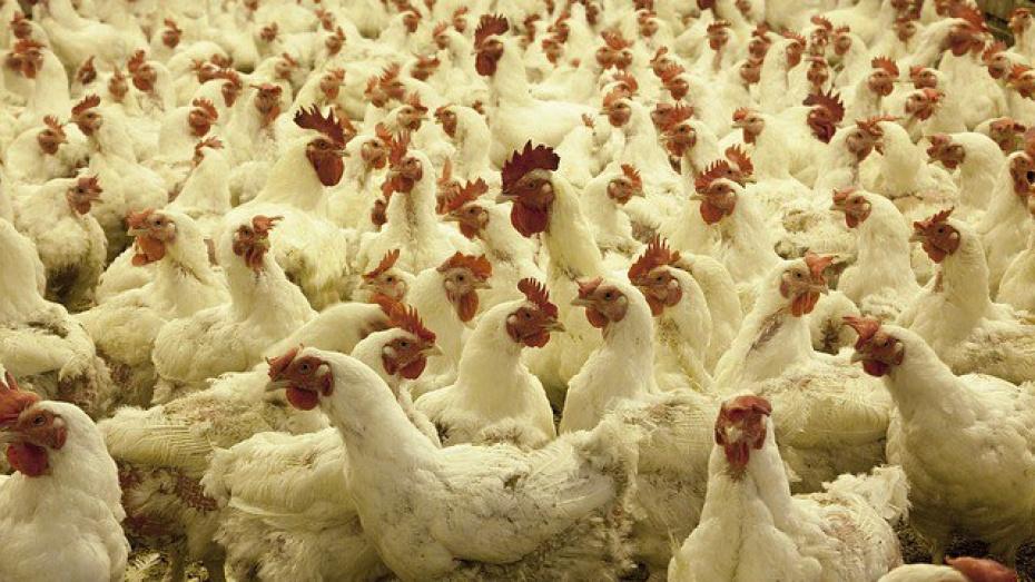 В Воронежской области построят птицеферму за 800 млн рублей