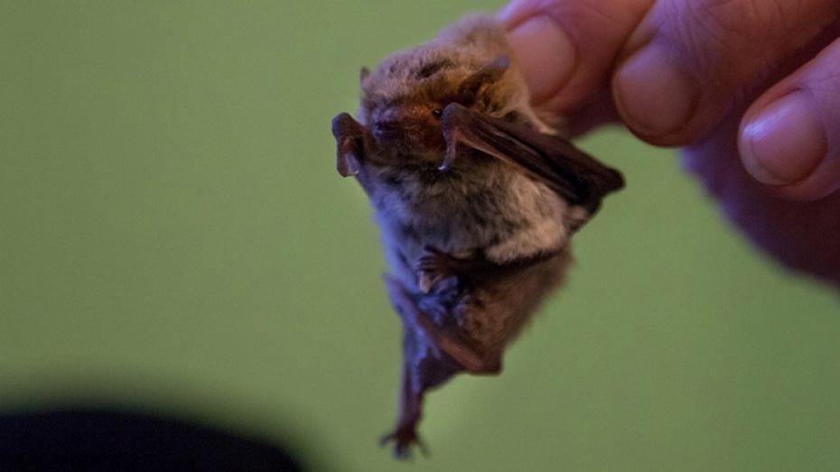 ВВоронежском заповеднике обнаружили необычную летучую мышь