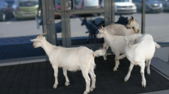 Стадо коз сфотографировали на входе в автоцентр под Воронежем