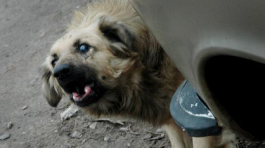 СК проверит информацию о нападении своры собак на 4-летнюю девочку в Воронеже